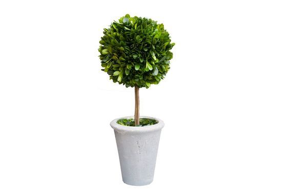 Boxwood ball in a grey pot Clipped